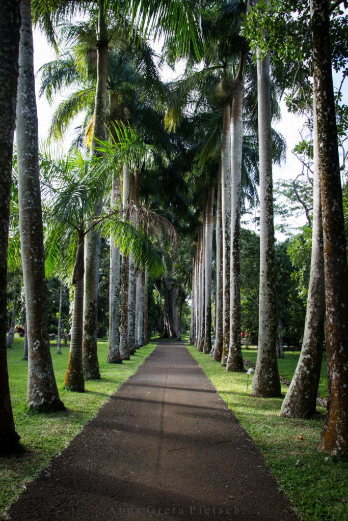 Pamplemousse_Palmenallee_Mauritius (FILEminimizer)