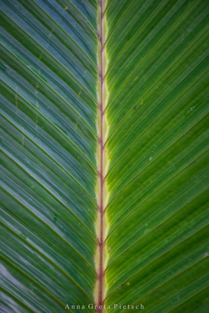 Pamplemousse_Palmenblatt_Mauritius-2 (FILEminimizer)