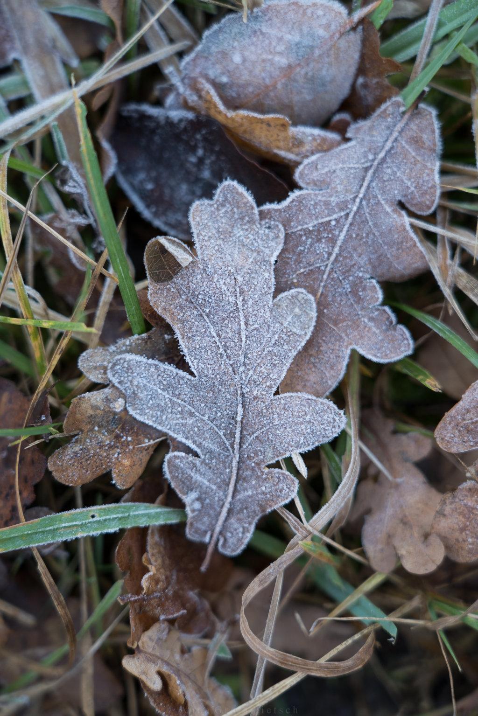 gefrorene Eichenblätter