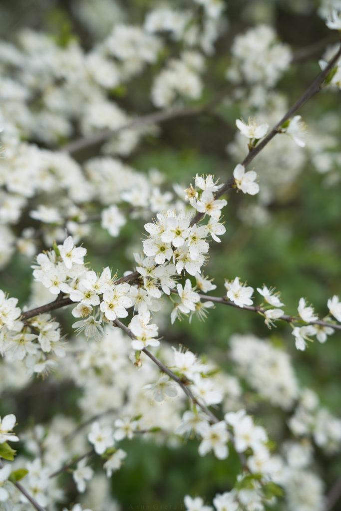 Schwarzdornblüten, Schurenbachhalde