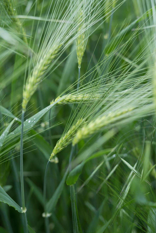 Getreide auf Feld
