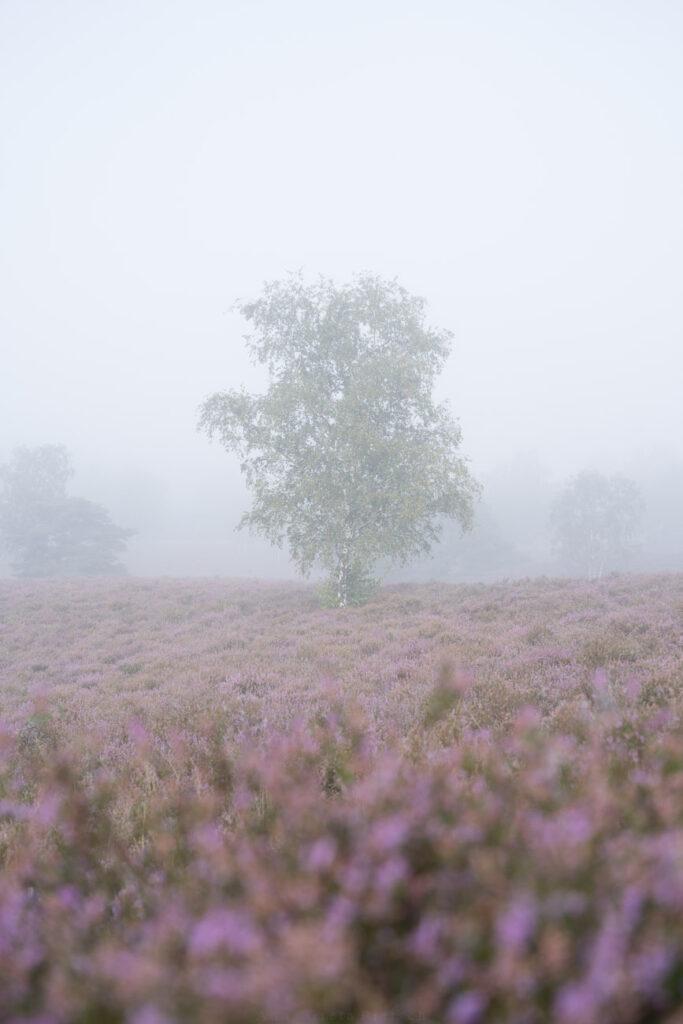 Birke im Nebel, Westruper Heide, Haltern