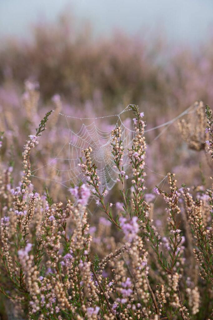 Spinnennetz Westruper Heide