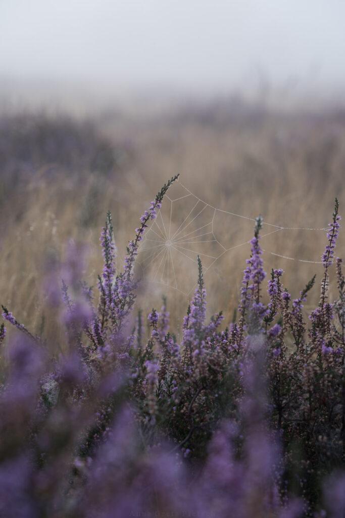 Spinnennetz in Heide